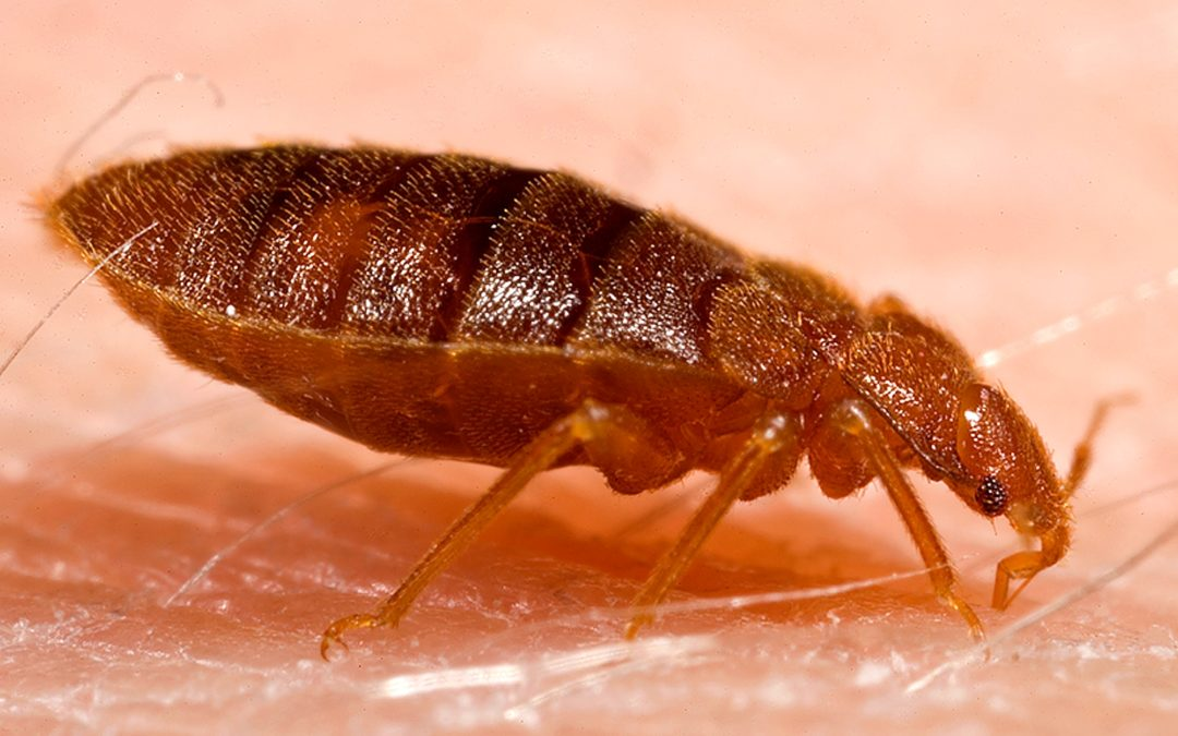 Adult_bed_bug