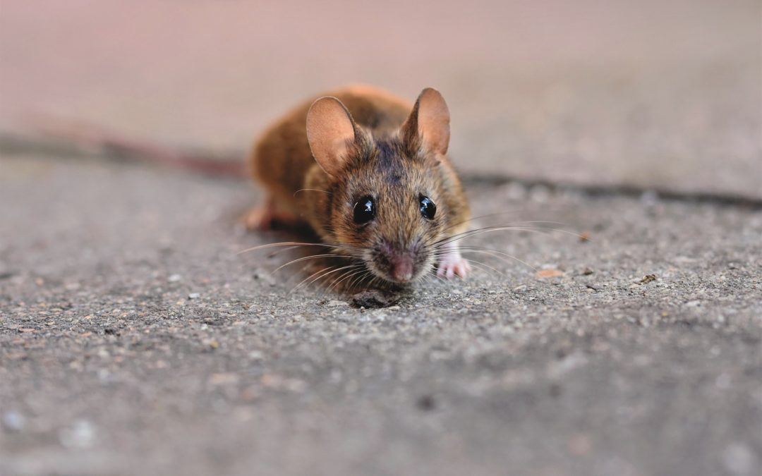 5 Signs of Rodent Infestation