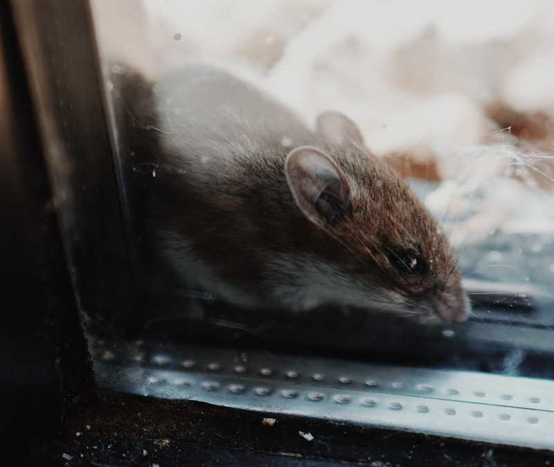 Ways to Keep Rodents Out of Your House